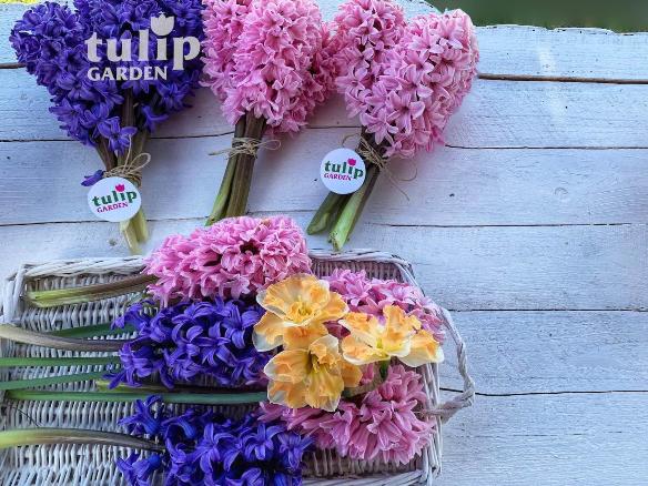 Tulipgarden Cegléd – Jácintszüret