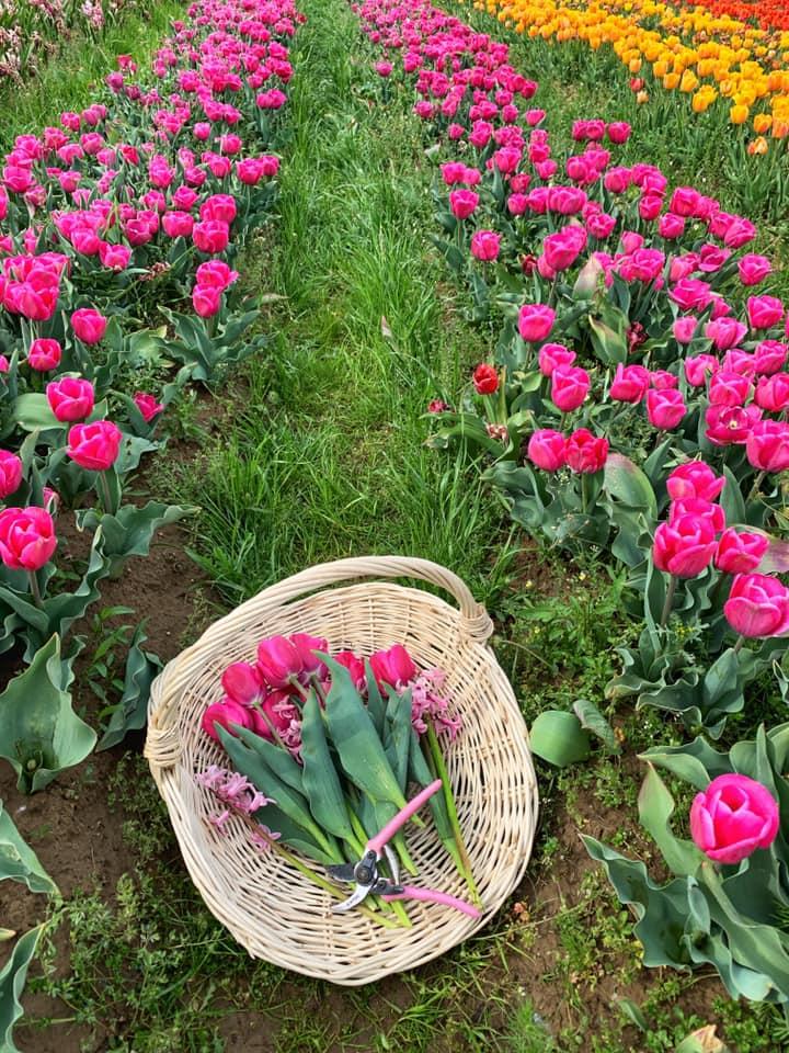 A TulipGarden Tiszó-tó első tulipán, jácint és nárciszszürete