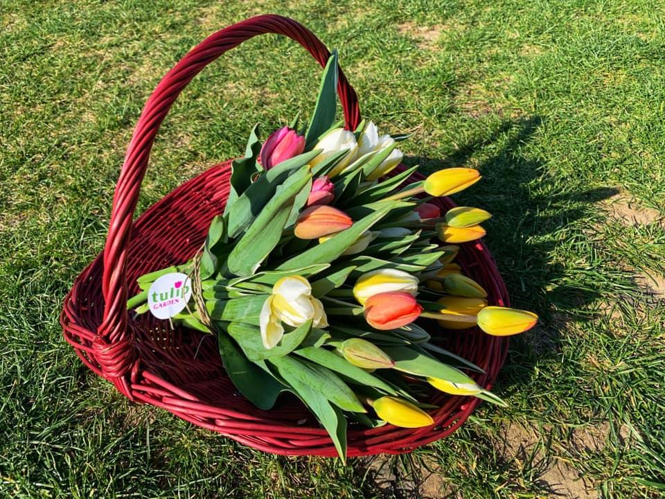 Tulipán, Jácint és Nárciszszüret a TulipGardenben 2021. ÁPRILIS 3., SZOMBAT