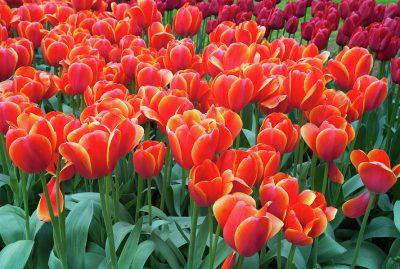 red-orange-tulipa-ad-rem-jenny-rainbow