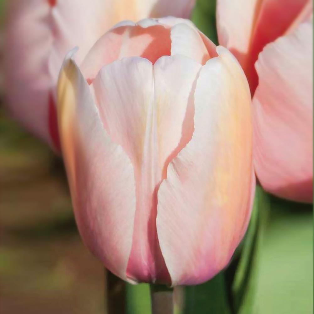 Tulipán ismertető – Mórahalom